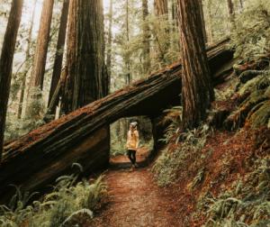 California Redwood Facts